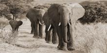Fotokunst-olifanten-160x80-cm