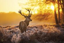 Dawn-Fotokunst-hert
