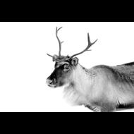 Caribou-Fotokunst-hert