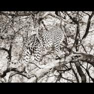 Fotokunst-panter-in-een-boom