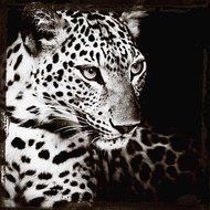 Leopards-gaze