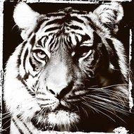Tigers-gaze