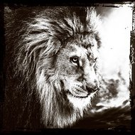 Lions-prowess